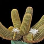 Brachycereus nesioticus (Lava Cactus)