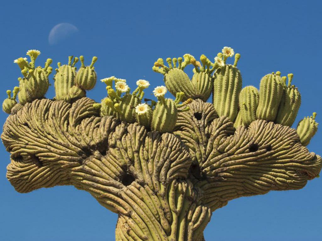 Carnegiea gigantea f. cristata (Crested Saguaro)