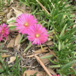 Cephalophyllum framesii