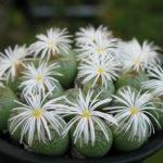 Conophytum ficiforme (Button Plants)