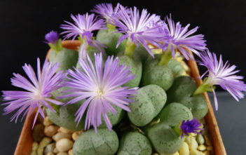 Conophytum ficiforme (Button Plants)