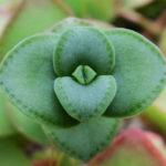 Crassula pellucida subsp. marginalis