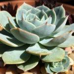 Echeveria 'Green Abalone'