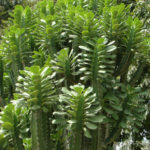 Euphorbia royleana (Sullu Spurge)