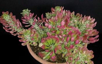 Euphorbia succulenta f. variegata