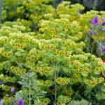 Euphorbia x martini (Martin's Spurge)