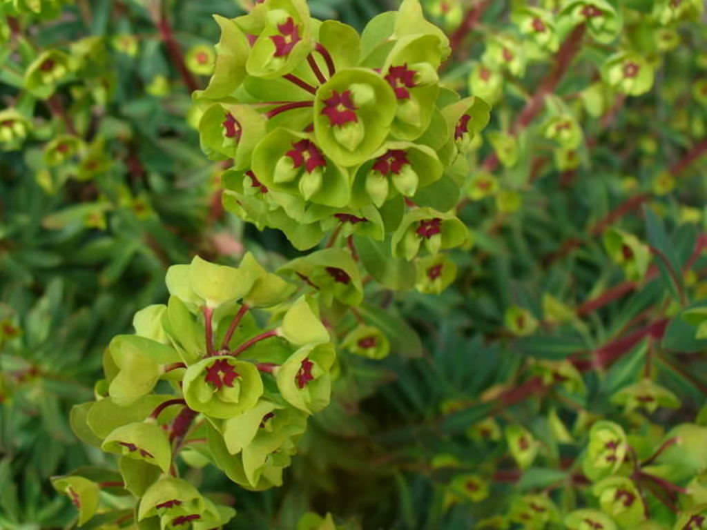 Euphorbia X Martini Martin S Spurge World Of Succulents