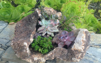 Growing Succulents in Lava Rocks