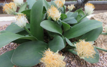 Haemanthus albiflos (Paint Brush)
