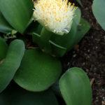 Haemanthus albiflos (Paint Brush)