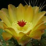 Maihueniopsis darwinii (Darwin's Cactus)