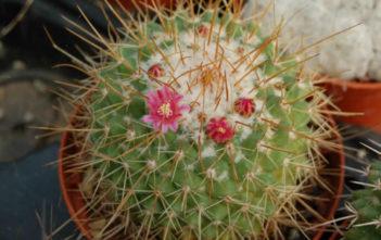 Mammillaria petterssonii