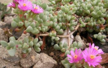 Oscularia pedunculata
