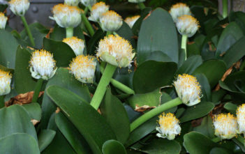 Paint Brush (Haemanthus albiflos)