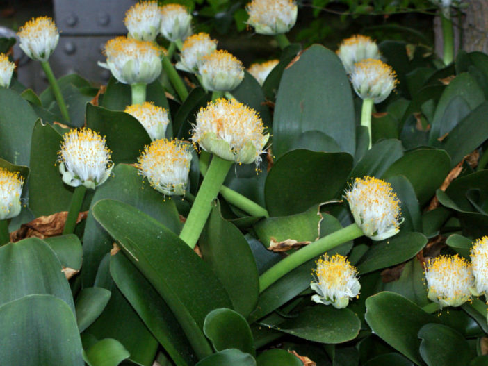 Grow and Care Paint Brush (Haemanthus albiflos)