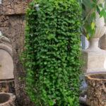 Peperomia rotundifolia (Round Leaf Peperomia)