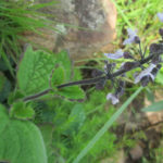 Plectranthus hadiensis (Hairy Spurflower)
