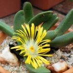 Pleiospilos compactus (Mimicry Plant)