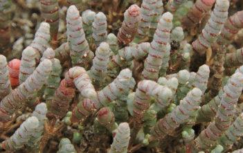 Tecticornia pergranulata (Blackseed Samphire)