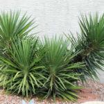 Yucca aloifolia (Spanish Bayonet)