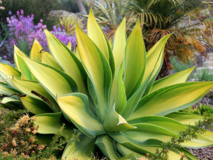 Agave attenuata 'Kara's Stripes' (Variegated Fox Tail Agave)