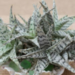 Aloe 'Blizzard'
