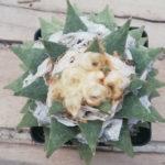 Ariocarpus retusus var. furfuraceus (Seven Stars)