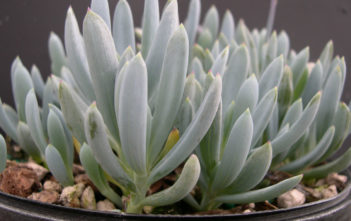 Blue Chalksticks (Senecio serpens)