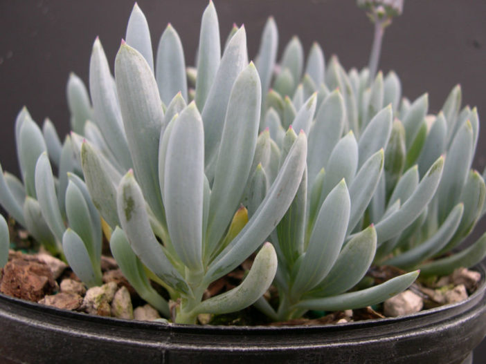 Grow and Care Blue Chalksticks (Curio repens aka Senecio serpens)