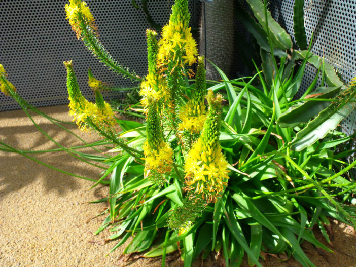 Grow and Care (Bulbine) Bulbine latifolia