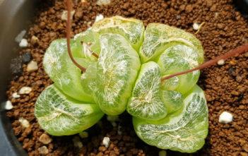 Bulbine mesembryanthoides (Window Plant)
