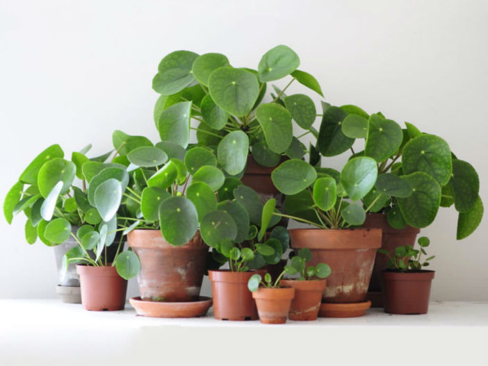 Grow and Care Chinese Money Plant (Pilea peperomioides)