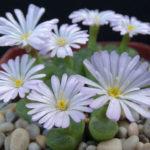 Conophytum limpidum (Eye-leaves)