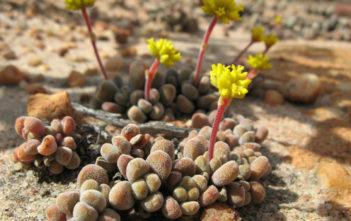 Crassula namaquensis subsp. comptonii