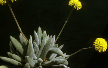 Crassula namaquensis subsp. lutea