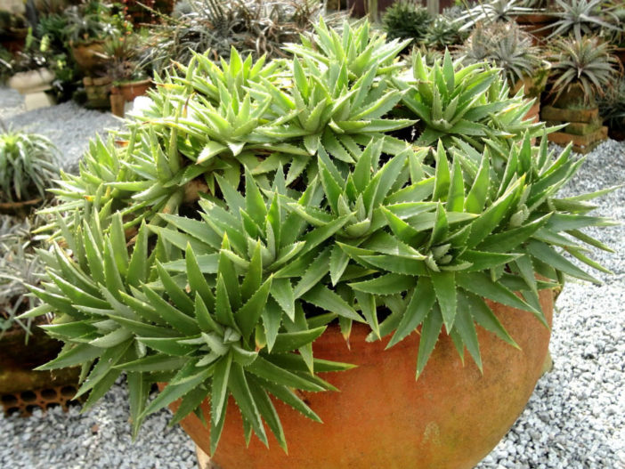 Dyckia brevifolia (Sawblade)