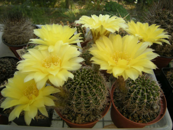 Echinopsis aurea (Golden Easter Lily Cactus)