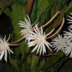 Epiphyllum hookeri (Hooker's Orchid Cactus)