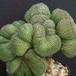 Euphorbia obesa f. cristata (Crested Baseball Plant)