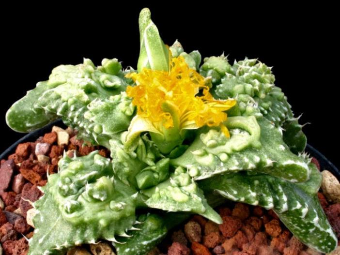Faucaria felina subsp. tuberculosa 'Super Warty'