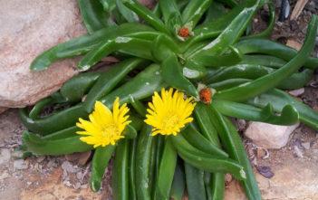 Glottiphyllum longum (Tongue-leaf Plant)