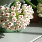 Hoya pachyclada 'Red Corona' (Wax Plant)