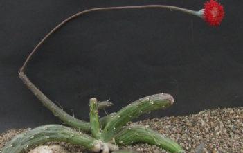 Kleinia pendula (Inch Worm)