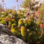 Kumara haemanthifolia (Haemanthus-leaf Aloe)