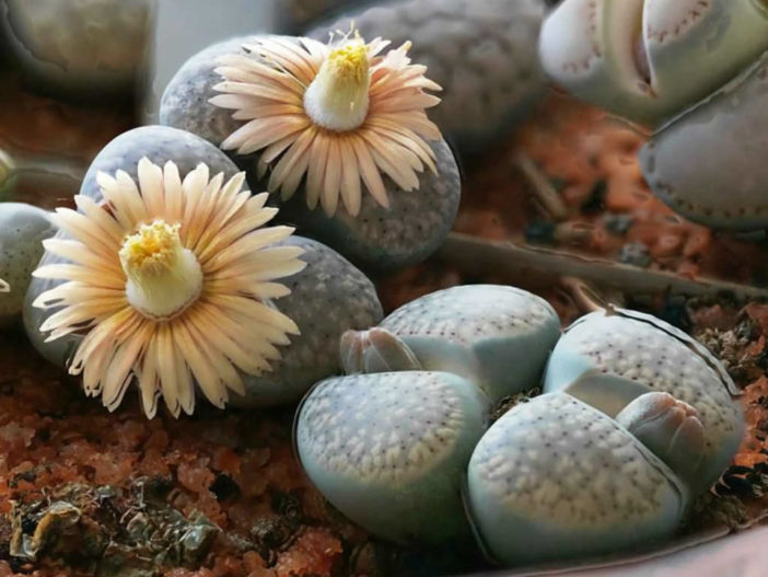 Lithops verruculosa (Living Stones)