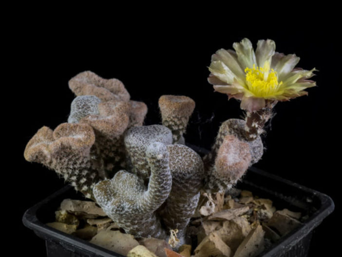 Maihueniopsis clavarioides f. cristata (Crested Dead Man's Fingers)