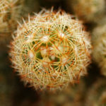 Mammillaria elongata (Ladyfinger Cactus)