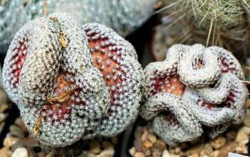 Mammillaria theresae f. cristata