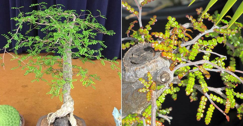 Operculicarya Decaryi Elephant Tree World Of Succulents