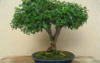 Operculicarya decaryi (Elephant Tree)